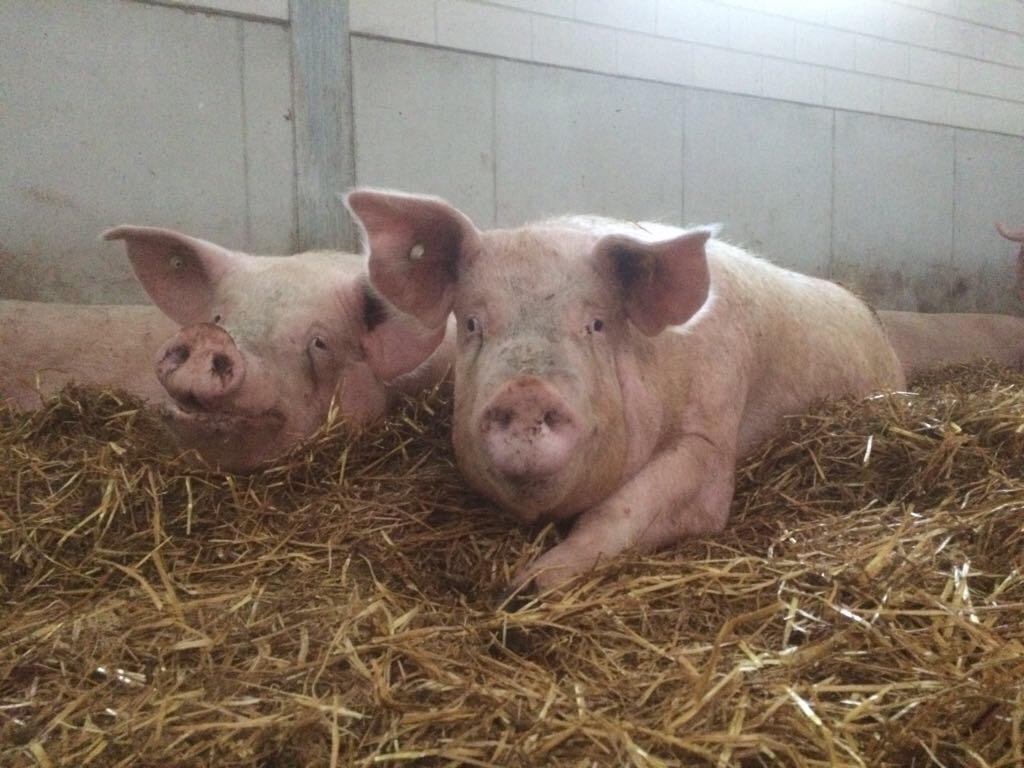 varkensvleesconcepten